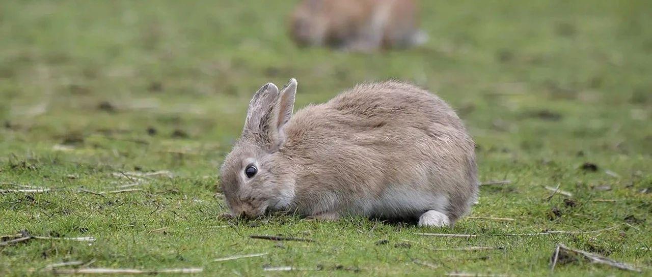 又爱又恨!Colwood兔子激增,搞起了破坏。。。