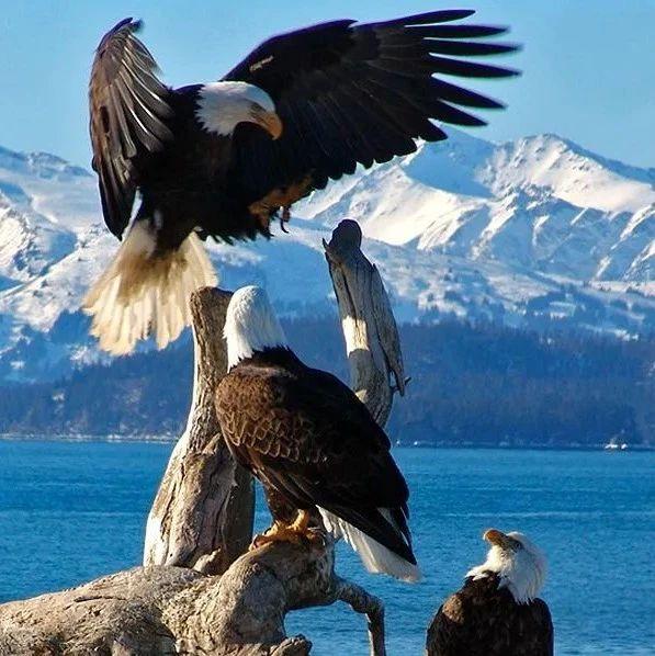攻略|白头鹰最佳观赏地就在加拿大BC省!摄影达人们准备好了吗?