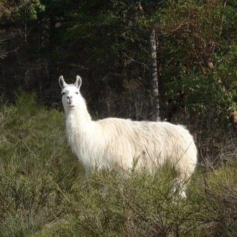 求助!维多利亚的朋友们,有没有看到一只迷茫的羊驼?