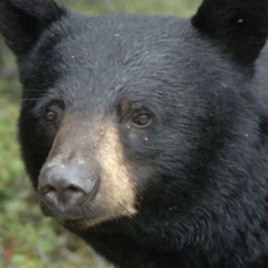 黑熊警报!!维多利亚有黑熊出没,已经在Saanich看到了一只!!