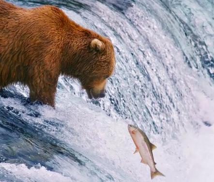 本地 | 勇敢鱼鱼,不怕困难!三文鱼回流又来啦!快来get岛上最佳观测地~