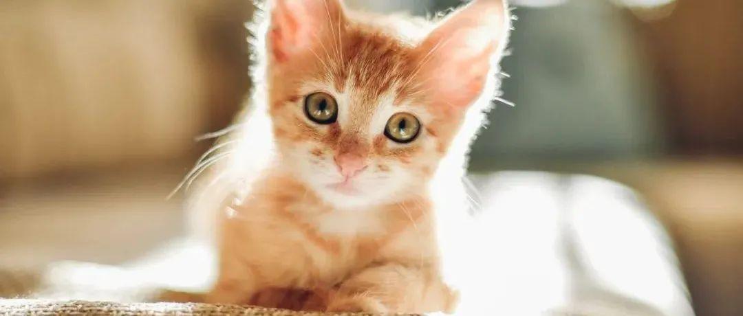 宠物 | 维多利亚宠物领养限时50% OFF!猫咪不到$100就可领回家!